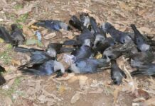 Bird Flu Risk: A sample of crows found dead in Seoni district was sent to the lab for examination